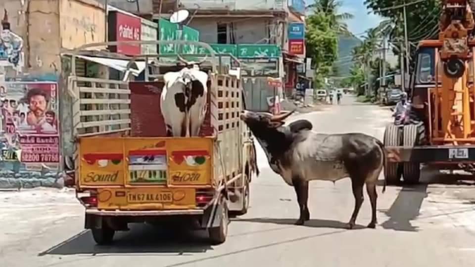 एक नंदी और एक गाय की अनोखी प्रेम कहानी